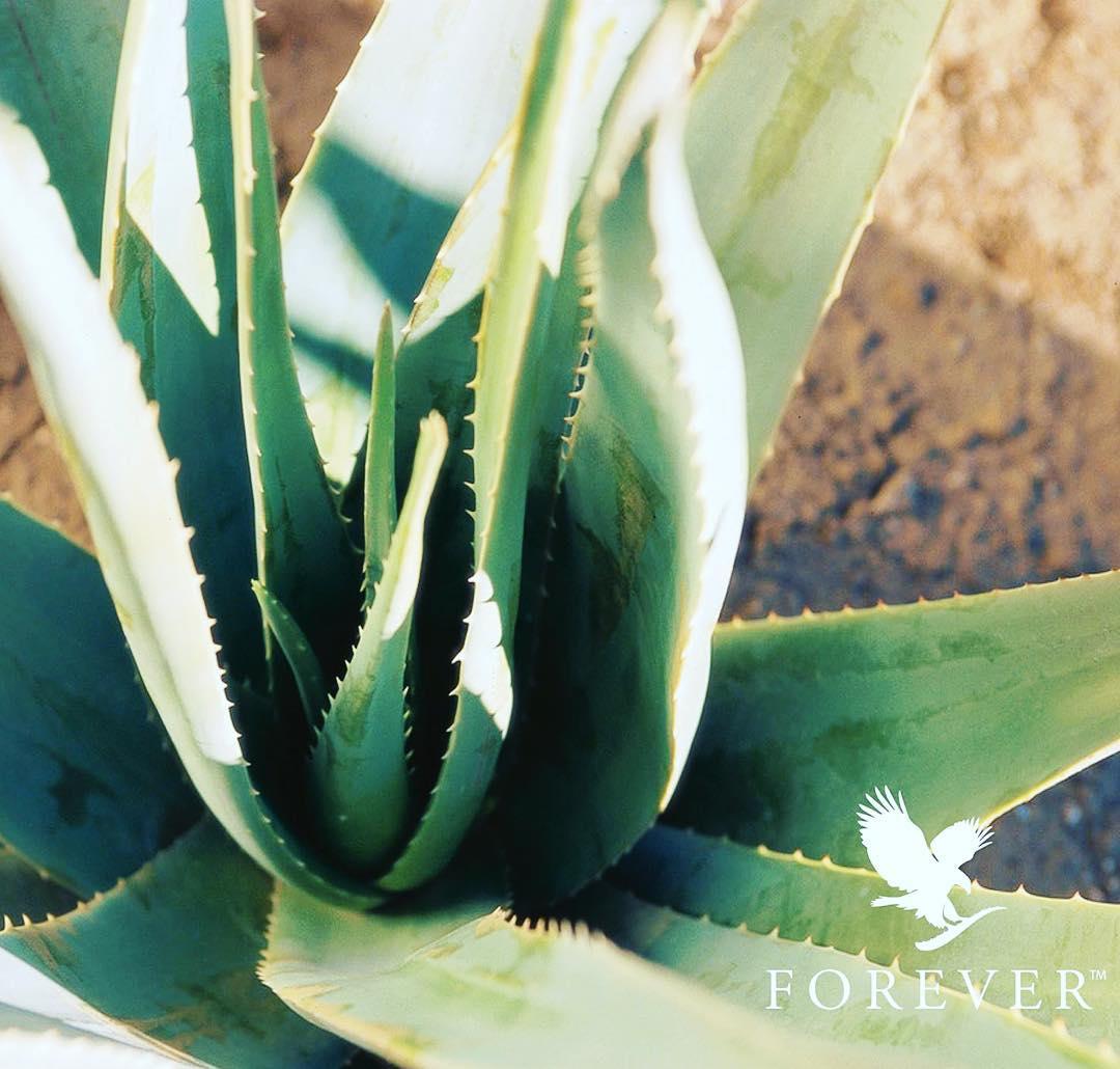 Depuis des millénaires, cette merveille botanique est connue pour ses nombreuses vertus en usage interne mais également en usage externe. Rendez-vous sur www.foreverliving.fr pour en savoir plus :)