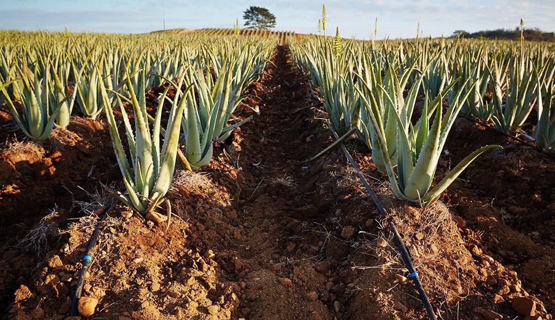 L' Aloe Vera et ses nombreux bienfaits